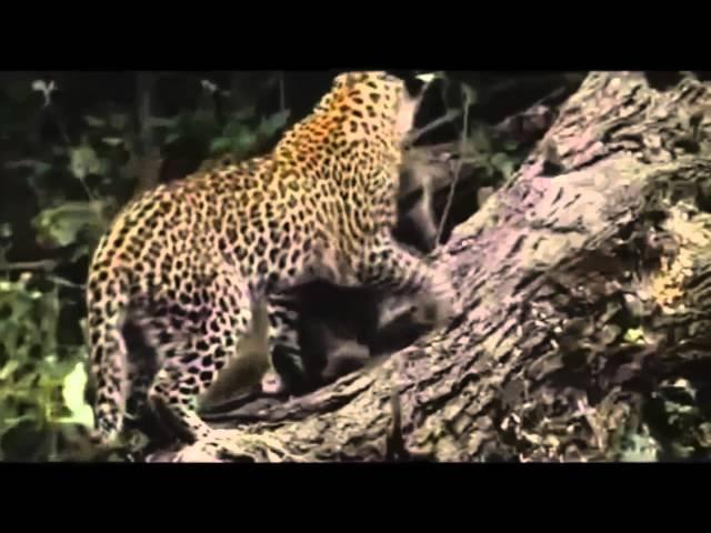 Охота леопарда на бабуинов