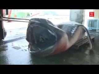 Рыбаки выловили редкую акулу- Fishermen have caught a rare shark