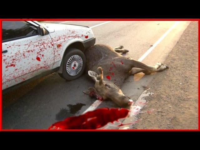 Быка за рога [Аварии и ДТП с большими животными] Подборка от АВТО-ЖЕСТЬ