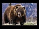 Долина Гризли Поле битвы! Документальный фильм о медведях Гризли HD