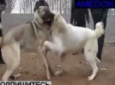 Кангал Vs Алабай Fighting Dogs Собачьи бои
