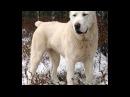 Собачьи бои Алабай Гермес vs кавказский волкодав Хам