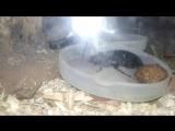 принциссии (мадагаскарские тараканы)