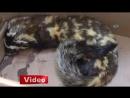 Video İzle Ardahanda bulunan alaca sansar koruma altında