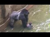 Gorilla zoo boy did Harambe at Cincinnati Zoo deserve to die - TomoNews