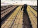 Технология выращивания лилий и тюльпанов от луковицы до цветка 2