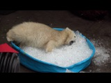 Polar bear plays in kiddie pool filled with ice