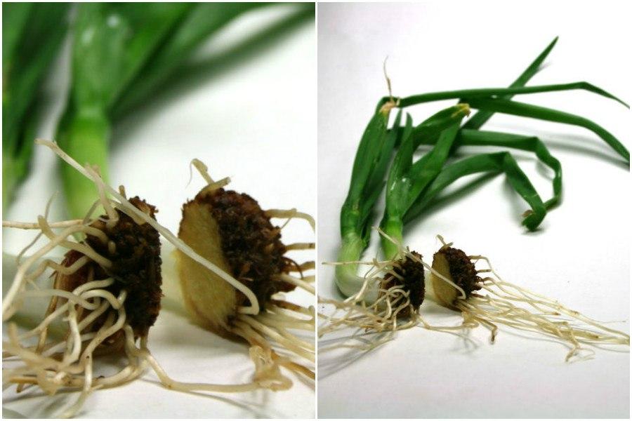 Как вырастить зеленый лук дома из отходов