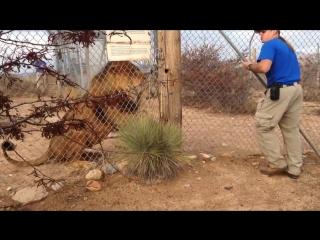 Во время показательной экскурсии американский гид чуть не стал жертвой льва