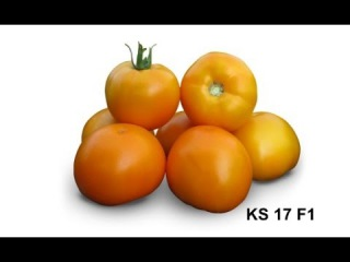 Cемена Китано. Выращивание желтого томата KS 17 F1