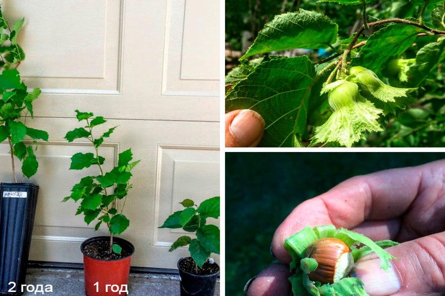 Простой способ вырастить фундук из ореха дома