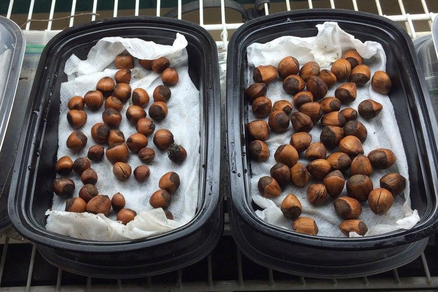 Простой способ вырастить фундук из ореха дома-через 4 месяца разложите фундук на влажные полотенца