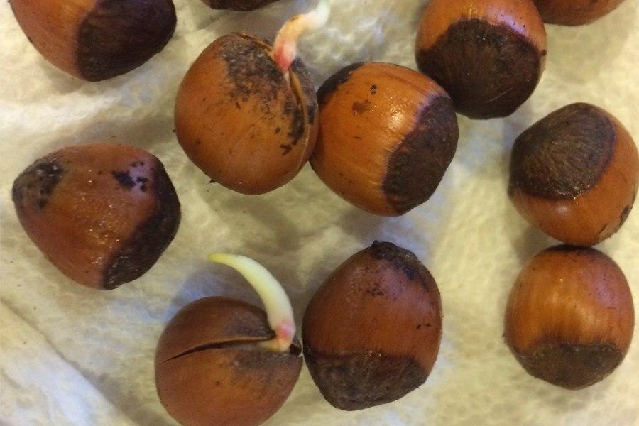 Простой способ вырастить фундук из ореха дома-Через 5-7 дней скорлупа ореха начнет трескаться