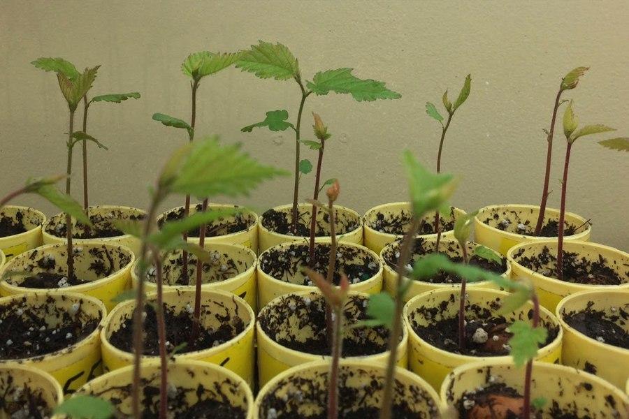 Простой способ вырастить фундук из ореха дома-рассаде 10 дней