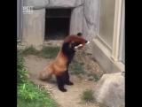 Красная панда увидела камень