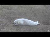 Beautiful Grey Seal pup. Grey Seal Pupping cam. 18 January 2017