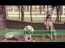 Веймаранер веймарская легавая