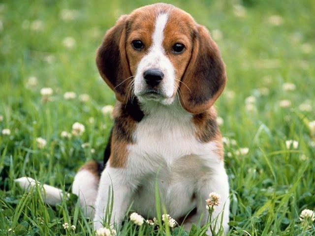 Бигль. Породы собак