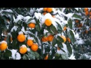 Заснеженные мандарины / Snow-covered tangerines