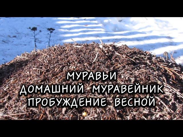 Муравьи Домашний Муравейник Пробуждение весной Ant Colony Home ant Spring