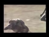 Обезьяны сбегают на кабане мото звук monkey Moto