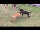 Собачьи бои 18 Питбули