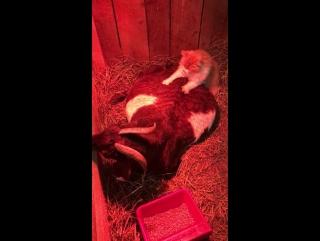 Кот помогает козе родить!