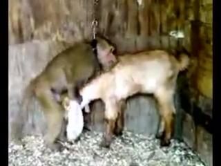 Обезьяна ебёт козу [240p]
