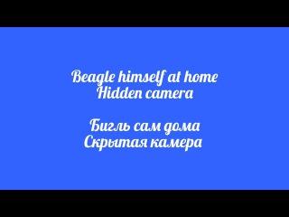 Hidden camera. Beagle himself at home || Скрытая камера. Бигль сам дома