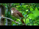 Голоса птиц. Пение соловья (видео)