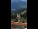 Marmot screaming on Blackcomb Mountain