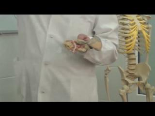 Анатомия человека - Отделы желудочно кишечного тракта, В. А. Изранов.