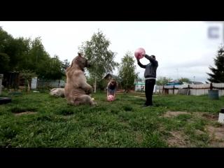 Медведь в качестве домашнего животного в русской семье