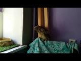 Совёнок ушастой совы Чуфырька зовёт семью. Голос ушастого совёнка.