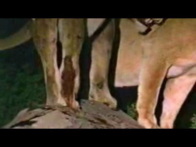 лев приходит на помощь своей львице и нападает на гиен
