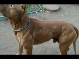 O poder do Pit Bull - The pit bull dog power (NEW) 3