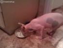 Говорящая кошка за едой