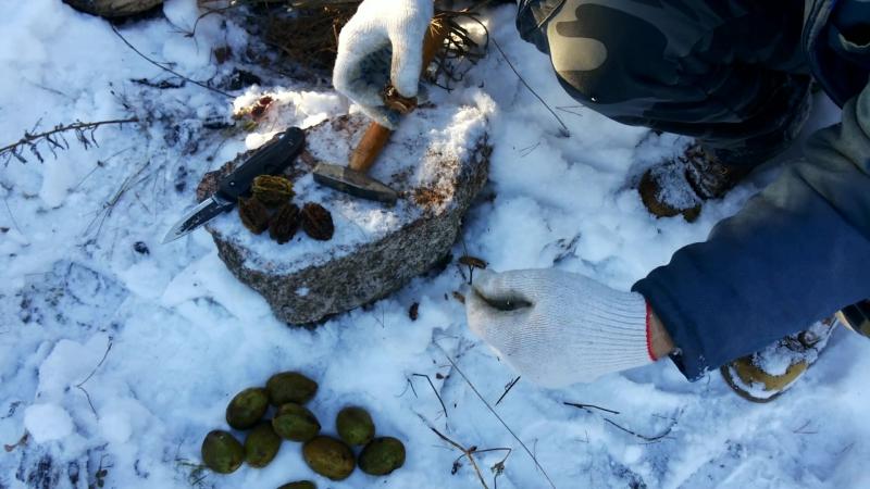 Как извлечь ядро серого ореха. (Juglans cinerea). (Butternut-Gray walnut-White walnut). How to remove the core of gray walnut.