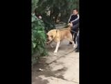 Легенда собачьих боёв