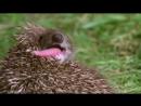BBC Эти загадочные животные 06 Необычные пристрастия
