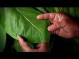 Видео как делают кубинские сигары Cohiba