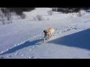 Лабрадор катается с горки Labrador riding a roller coaster