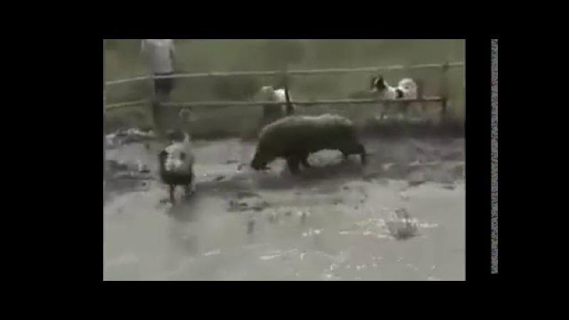 Jabali vs 4 pitbull