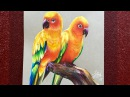 Realistic drawing of Parrots Sun Parakeets
