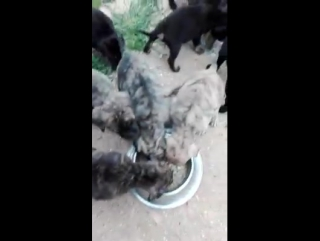 Щенки аланской собаки