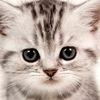 Olimpia Marble ♕ Питомник британских кошек