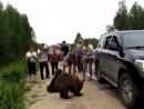 Медведи и дикие люди на трассе Ухта-Сыктывкар