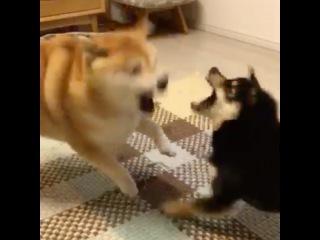 Instagram video by 柴犬 よもぎ • Dec 23, 2016 at 11:58am UTC