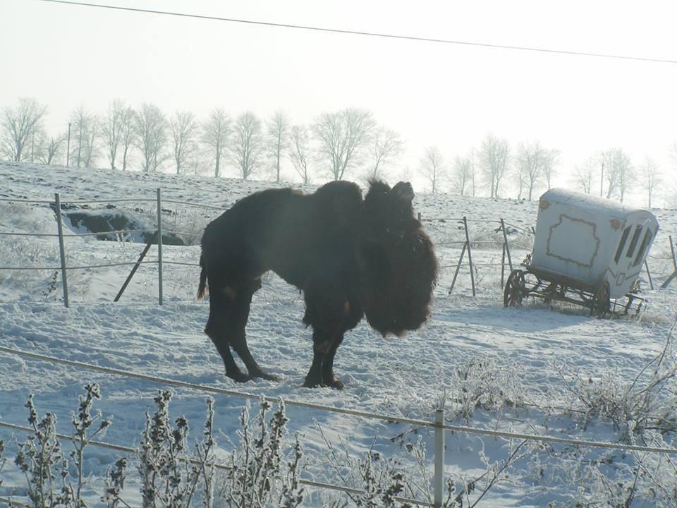 У Сокирянах цирковий верблюд оселився у засніженому парку. Мешканці переймаються здоров'ям ссавця