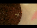 Кормление фрина Damon variegatus туркменским тараканом [BESTIARY]